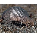 An armadillo in the dirt