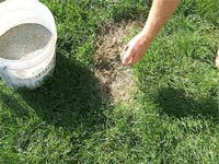Spreading grass seed on a brown patch of lawn,
