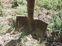 Shovel digging into ground to remove posion ivy root system