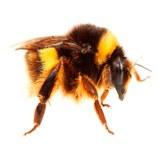 Ground-dwelling bee