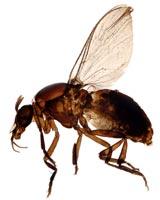 A black fly profile.