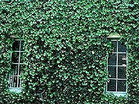 A wall full of ivy with windows peeking through.
