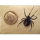 A female black widow spider, black with red hourglass marking on its belly, shown next to a dime for scale.