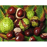 Horse chestnuts. A green spiny shell on the outside and mahogany brown nuts.