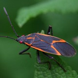 A photo of an adult boxelder bug.