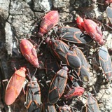 A photo of boxelder bugs including both adults and nymphs.