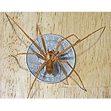 A Brown Recluse Spider on top of a quarter to show scale.