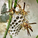A photograph of several paper wasps building a nest.