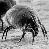 An black and white illustration of a dust mite.