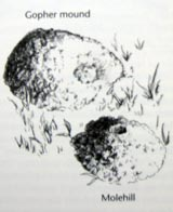 An illustration of a gopher mound vs. a molehill
