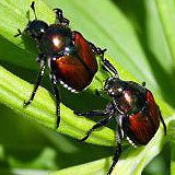 A photograph of two adult Japanese Beetles.