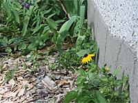 Weeds growing alongside a home foundation.