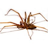A side profile shot of a hobo spider on a white background
