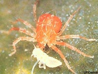 A spider mite, aka two-spotted mite.