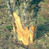 Rabbit bite marks on a tree