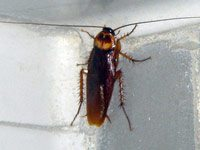A photo of an American cockroach on a white background.