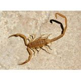 A Bark Scorpion, tan in color.