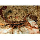 A Striped Scorpion, tan with dark stripes along the back.