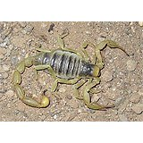 A Arizona Hairy Scorpion, light yellow tail and legs and a gray striped body.