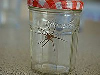 A large spider in a sealed jar with a red and white lid.