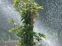 Plant being sprayed with water.