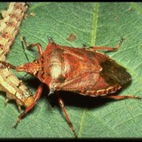 A spined soldier bug.