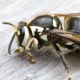 Bald-Faced Hornet