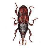 An illustration of a granary weevil.