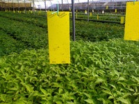 Large yellow stick traps in a greenhouse.