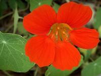 A red nasturium.