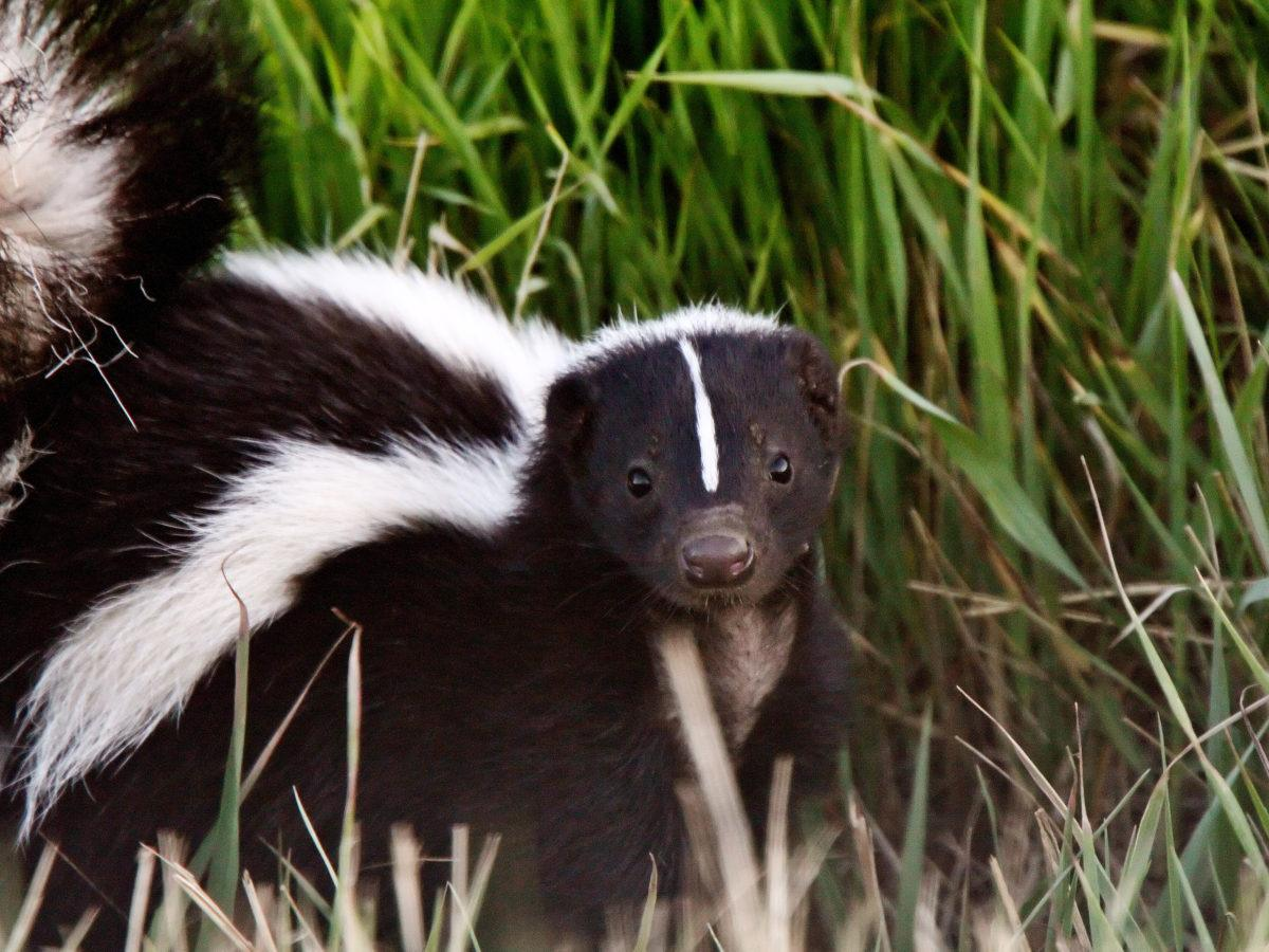 How to Get Rid of Skunk Smell | GetRidofThings com