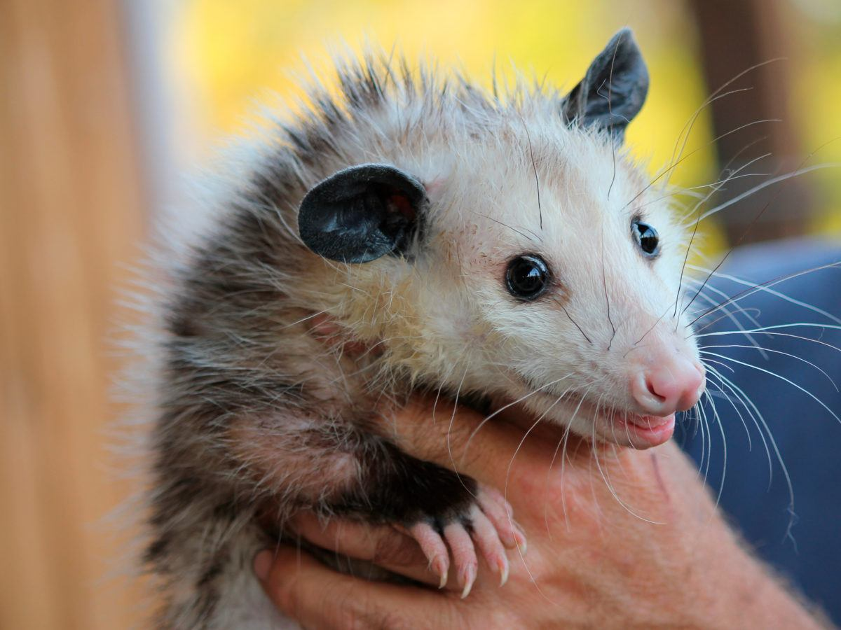 - How To Get Rid Of Opossum
