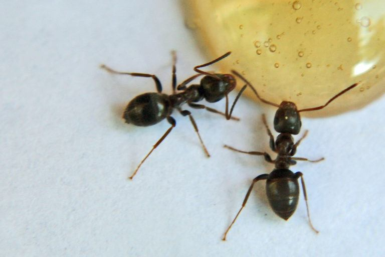 How To Get Rid Of Small Black Ants In Bedroom