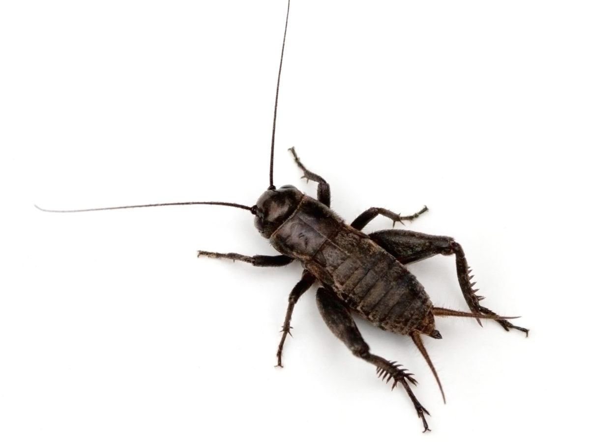 How To Get Rid Of Crickets Getridofthings Com