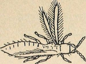 An illustration of a thrip.