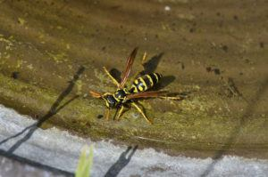 Yellowjacket is drinking water on a hot day