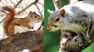 red vs. gray squirrel get rid of