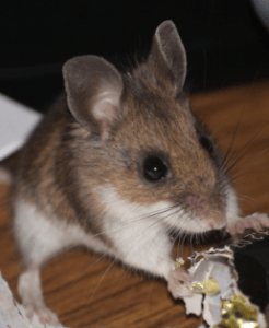 get rid of mouse in house