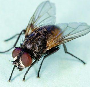 maggot housefly
