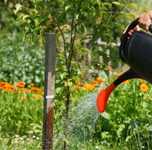 tree watering care